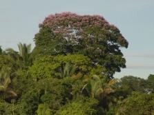 Dipteryx - Tonka pupelių medis