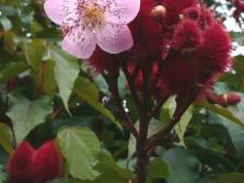 Анато - цъфтящи растения