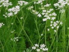 Кимиено растение