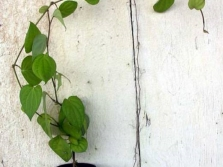 Creepers de pimenta preta jovem