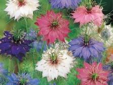 Nigella Blumen