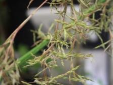 Цветя на цитронела