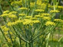 Kwiaty kopru włoskiego