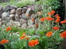 Gravilat σε έναν κήπο με λουλούδια