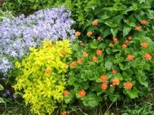 Gravilat w ogrodzie kwiatowym