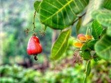 Anakardžių vaisiai