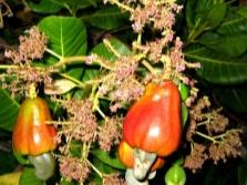 Anakardžių vaisiai ant medžio