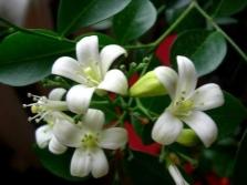 Flores de murray