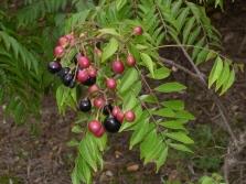 Frutas Murrayi