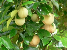 Frutta noce moscata
