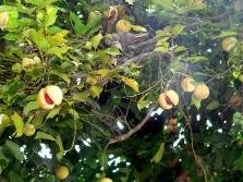Δέντρο Muskatel