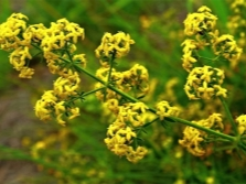 Bedstraw sárga virágokkal