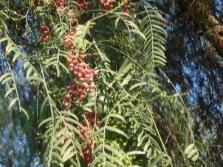 Κλαδιά ενός δέντρου πιπέρι