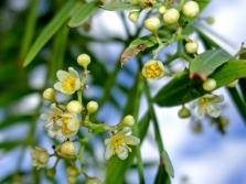 Rozā piparu koku ziedi
