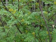 Árbol de pimiento planta de especias