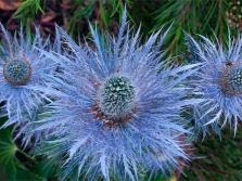 Eryngium Blue Jackpot