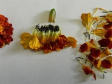 Miten kuivata marigolds