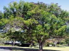 Tamarindas
