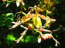 Tamarindas žydi