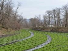 Wasabi auf großen Plantagen