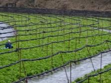 Wasabi cultivado