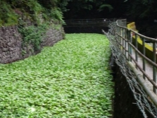 Plantação de Wasabi