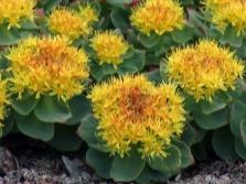 Χρυσά λουλούδια ρίζας