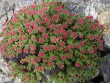 Schöne Büsche von Rhodiola Rosea