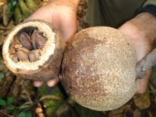 Плодове от бразилски орехи