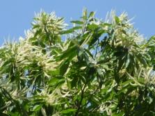 Европейско семе от кестени