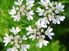 Flores de coentro