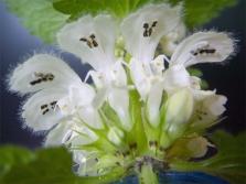 Цветя от коприва