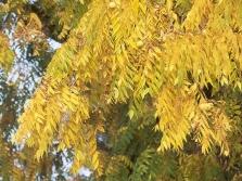 Liście czarnego orzecha włoskiego jesienią