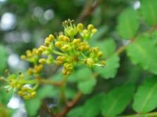 Цветята на дърветата от чукан
