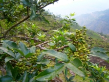 Pokok lada Szechuan dengan buah-buahan muda