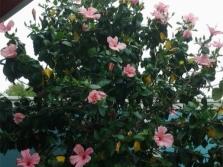 Δέντρο ιβίσκου