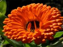 Körömvirág virág