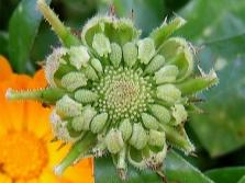 Körömvirág - körömvirág mag