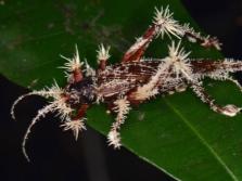 Кордицепс расте върху насекоми