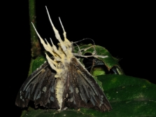Кордицепс паразитира върху пеперуди