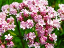 Valerijonų gėlės