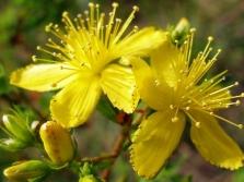 Hypericum gėlės