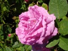 Mossy rožės