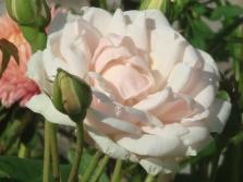 Noisette rožės