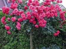 Klettern von großblumigen Rosen