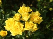Miniatūras rozes
