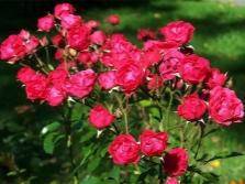 Polyanthus-Rosen