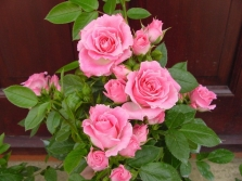 Kārtot rozes Patio pieauga