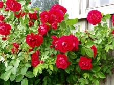 Rūšiuoti rožės Flammentanz