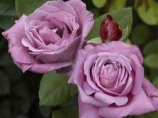 Rožu šķirne Blue Parfum
